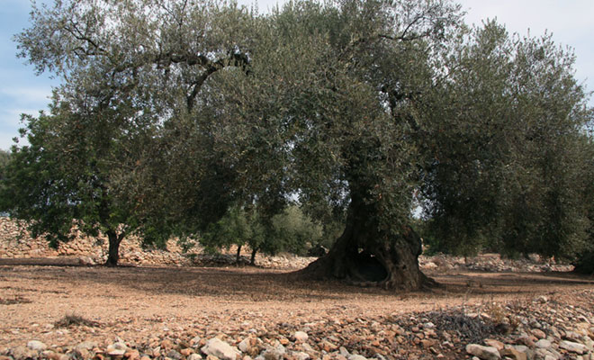 Salvemos los olivos